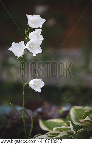 Closeup Of Beautiful Delicate White Bells, Carpathian Bell. Garden Bells In The Garden On A Sunny Da