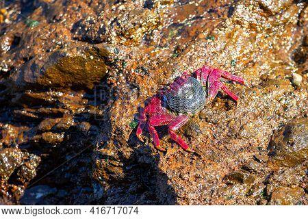 Big Red Athlantic Crab Resting On Volcanic Stone