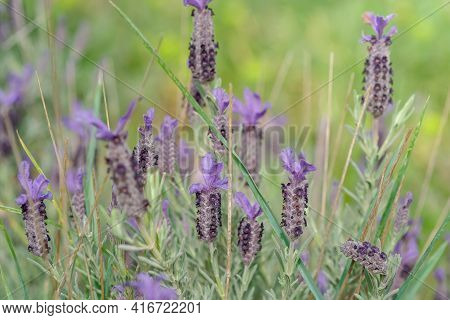 View On Flowers Of Lavandula Angustifolia, English Lavender On Colorful Blur Background. Violet Lave