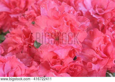 Bush Of Full Bloom Pink Azalea Flowers In A Sunny Day. Close Up Of Fuchsia Azaleas Or Rhododendron S