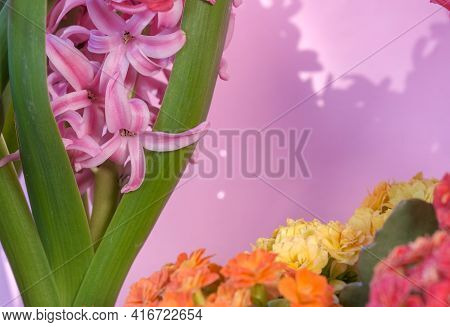 Beautiful Spring Pot Flowers. Blooming Pink Hyacinthus Or Hyacinths And Colorful Kalanchoe Flowers O