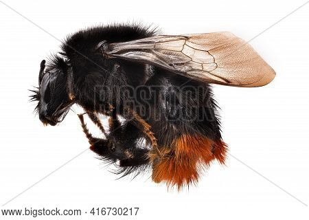 Bumblebee Macrophotography, Close Up Of Insect Isolated With White Background