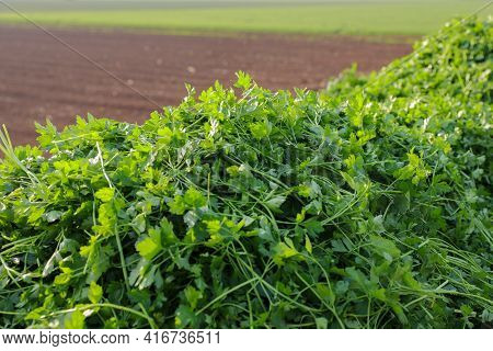 Bunch Of Fresh Parsley That Has Just Been Picked. Green Parsley Leaves.