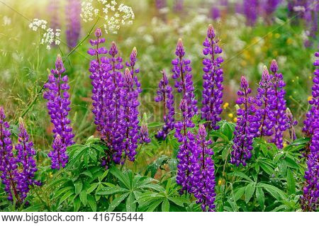 Lupinus, Commonly Known As Lupin Or Lupine, Is A Genus Of Flowering Plants In The Legume Family.
