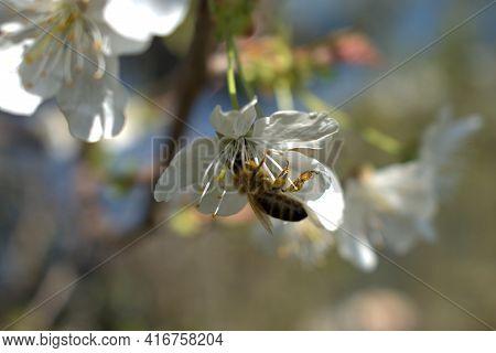Bee Is Busy Collecting Nectar From A White Blossom In Vaduz In Liechtenstein 4.4.2021