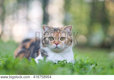 Scottish Fold Cat Sitting In The Garden With Green Grass. Calico Cat Looking At Camera.cute Pet Sitt