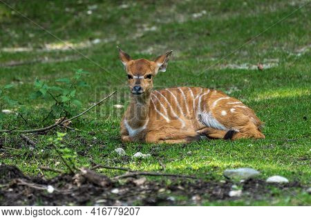 A Young Baby Nyala. Tragelaphus Angasii Is A Spiral-horned Antelope Native To Southern Africa. It Is