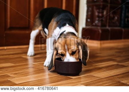 Beagle Feeding. Beagle Puppy Eating Dog Dry Food From A Bowl At Home. Beagle Eat, Adult And Puppy Fe