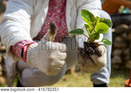Female Hands Hold A Flower Sprout And Show Thumbs Up. Botany Hobby