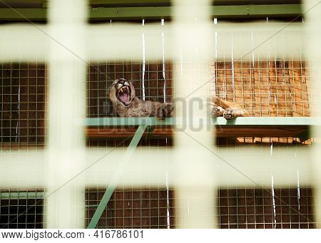 Photo Of A Wild Cat Resting In A Zoo Cage, Taken Through The Grate Of A Cage In A Zoo