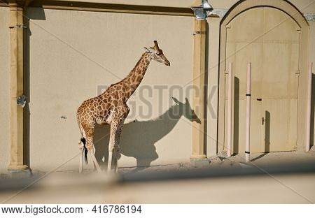 African Giraffe In The Zoo. Wild African Animals In Captivity