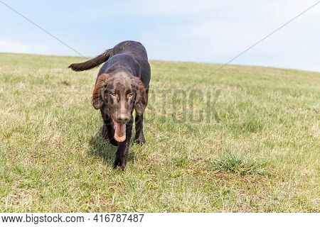 Brown Flat Coated Retriever On A Green Field. Typical Puppy Brown Flat Coated Retriever In The Sprin