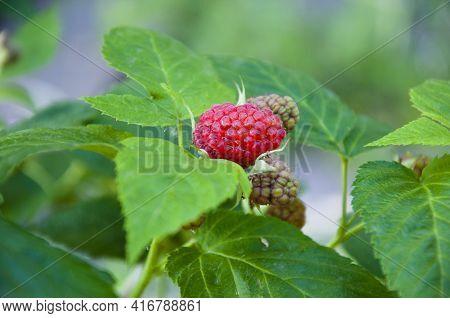 Raspberry. Raspberries Berry With Green Leaves. Summer Harvest. Fruit Berry Full Of Vitamin. Fresh R