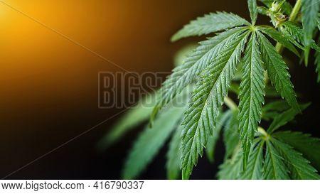 Green Cannabis Leaf With Dew Drops On Dark Background With Sunbeam. Cannabis With Cbd Cannabidiol. B