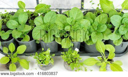 Beautiful Petunia Flower Seedlings In Plastic Pots Grown At Home Under Full Spectrum Agrolamps. Heal