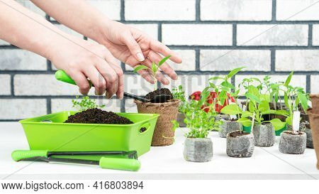 A Female Hands Transplant A Sprout Of Bell Pepper From A Peat Pellet Into A Pot. Home Gardening Hobb