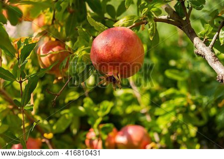 Red Ripe Pomegranate Fruits Grow In The Garden. Punica Granatum Fruits Close-up Ripen On A Branch. B