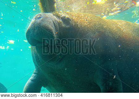 Close Up Of Manatee Feeding Underwater In Crystal River National Wildlife Refuge, Florida, United St