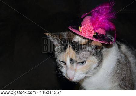Dilute Calico Cat With Blue Eyes In Fancy Pink Hat