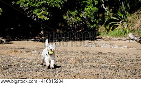 Young Westie West Highland Terrier Dog Playing Fetch On Beach Outdoors In Nature With Tennis Ball In