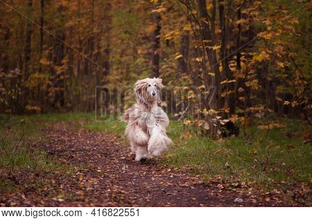 Dog,  Beautiful Afghan Hound, Running Along The Autumn Path, Walking. Beauty Dog in Motion