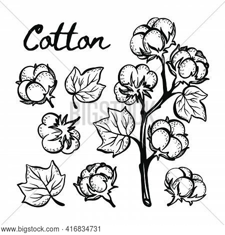 Cotton Monochrome Sketch With Branch Boll And Leaves Of Plant On White Background In Vintage Style H