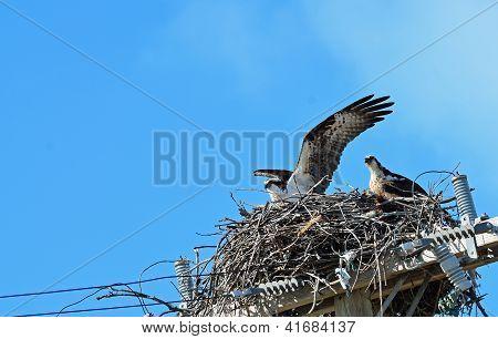 Osprey Fledgling Flight