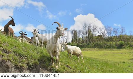 White  Goat  In Herd Looking Camera In Alpine  Mountain Pasture