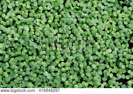 Growing Mustard Microgreens For A Healthy Lifestyle. Sprouted Mustard Seeds Close Up. Top View.