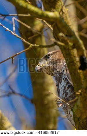 Buzzard Head In The Forest. Sitting On A Branch. Wildlife Bird Of Prey, Buteo Buteo. Detailed Feathe