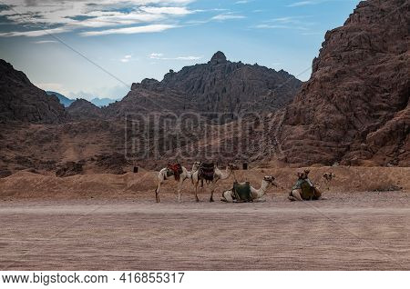 Sinai Desert. Nature And Inhabitants Of The Sinai Desert.
