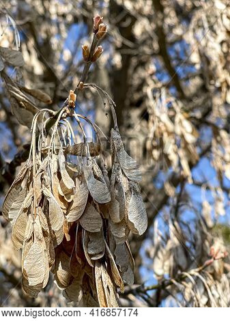 Dried Clusters Of Fruits Of Acer Negundo, The Boxelder, Boxelder Maple, Manitoba Maple, Or Ash-leave