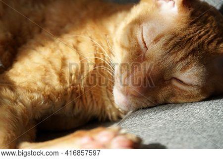 Short Hair Redhead Cat Sleeping On Armchair. Closeup Portrait