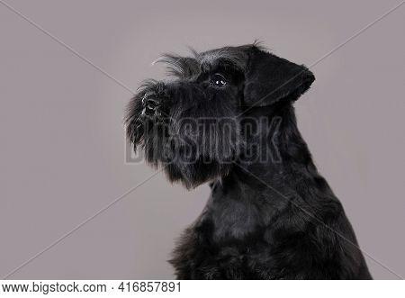 miniature schnauzer color black portrait on gray background