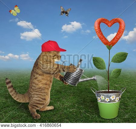 A Beige Cat Gardener In Red Cap Is Watering A Sausage Flower That Growing In A Metal Pail In The Mea