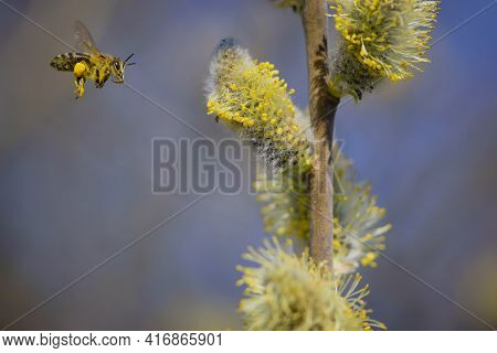 Bee On A Willow Flower With Yellow Fluffy Flowers. Insects Collect Nectar From Flowering Yellow Will