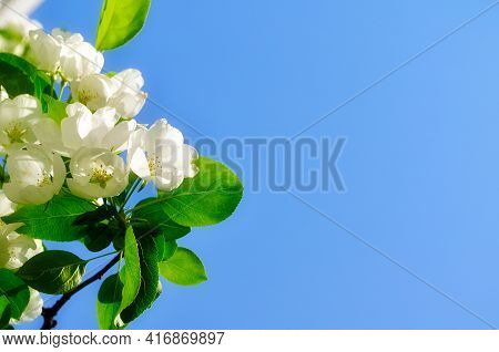 Spring blooming apple flowers on the background of the blue spring sky under bright spring sunlight, spring flower background. Soft focus processing.Spring apple tree,spring flowers,spring blossom,spring garden,beautiful spring nature