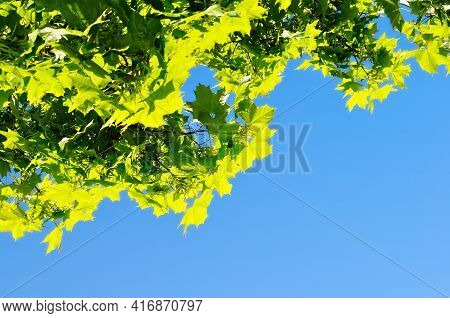 Spring maple leaves lit by sunlight on the background of blue spring sky, free space for text, spring background, spring tree leaves,spring garden, sunny spring nature, spring leaves, spring background