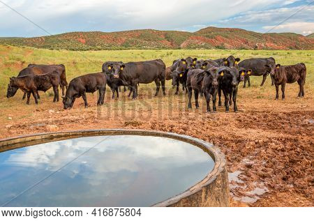 Open range cattle grazing at foothills of Rocky Mountains in northern Colorado, summer scenery with a water tank in Red Mountain Open Space