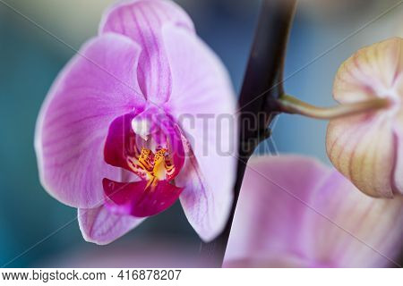 Light Pink Magenta Orchid Flower On Twig, Houseplant On Blue Turquoise Blurred Bokeh Background. Mac