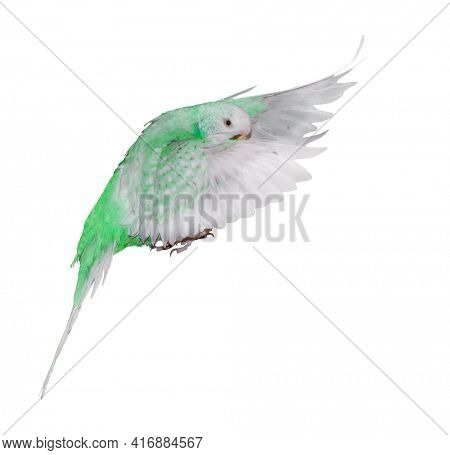 green budgerigar isolated on white background