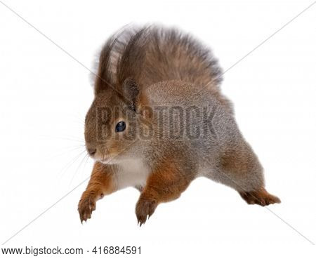 winter squirrel in jump isolated on white background