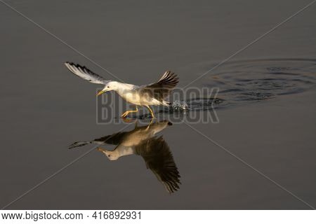 A Slender-billed Gull (chroicocephalus Genei), Running On Water While Hunting Fish In The Shallow Wa