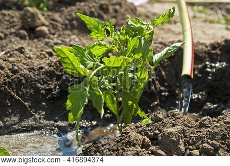 Water The Tomato Bush With A Hose. Selection Focus. Young Tomato Bush.