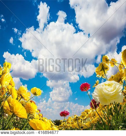 Lush cumulus clouds fly in the blue sky. Lush yellow garden ranunculus in a kibbutz field with a magnificent carpet. Sea of flowers. Israel. Wonderful trip for spring beauty