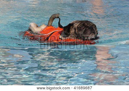 Scared swimming Pug