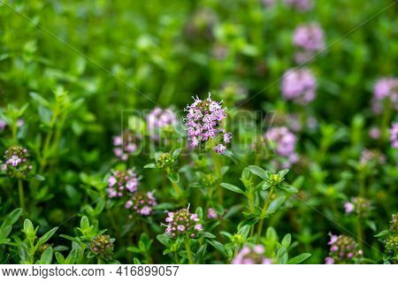 Botanical Collection, Purple Blossom Of Medicinal And Aromatic Plant Satureja Or Thyme