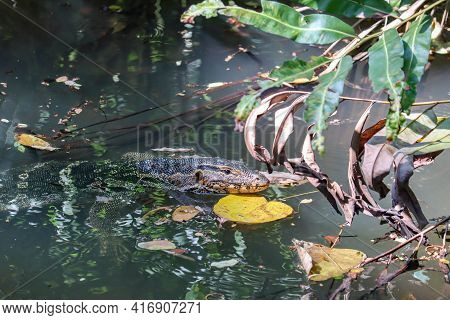 The Asian Water Monitor (varanus Salvator), Also Called Common Water Monitor