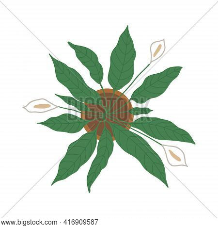 Spathiphyllum Plant With Three Flowers Top View. Spathiphyllum In A Pot On A White Background With W