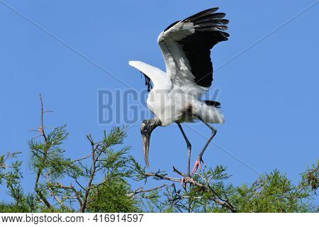 A Wood Stork - Mycteria Americana With Raised Wings High In A Tree Over Looking A Florida Marsh